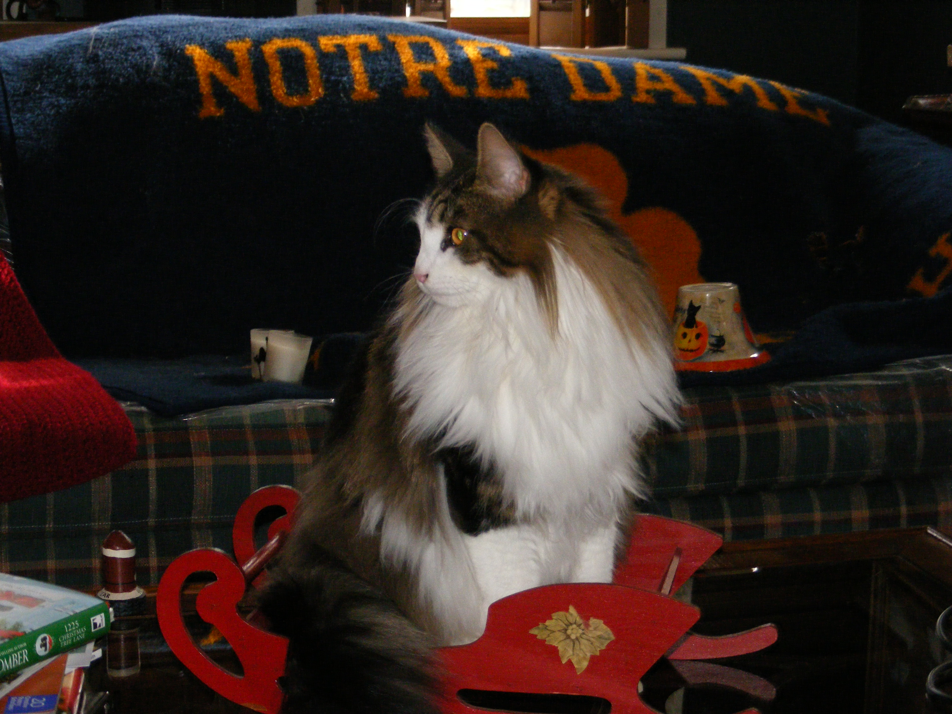 Maine Coon Cat Kittens and Cats For Sale in MD
