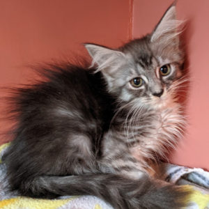 Maine Coon Kittens & Maine Coon Cat Breeder in PA & NJ