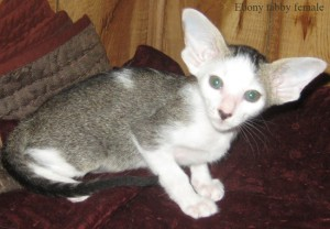 Oriental Shorthair Kitten Amp Maine Coon Cat Breeder In Pa